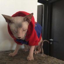 Amazing Superman Sphynx Cat coat / hooded sweatshirt