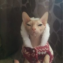 Teddy Jacket  Hooded Sphynx Cat Sweatshirt / Warm Sweater