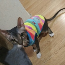 Fashionable, colorful cartoon-themed Sphynx cat shirt / Sweatshirt