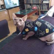 Super stylish cotton Sphynx cat shirt (several designs available)