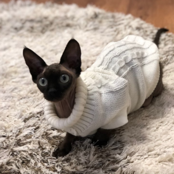 Clothes For Sphynx Cats